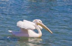 Weißer Pelikan, der auf das blaue Meer schwimmt Stockbilder