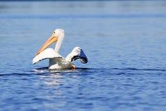 Weißer Pelikan, der seine Flügel verbreitet Stockbild