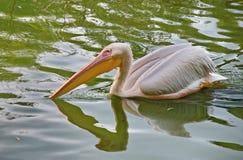 Weißer Pelikan in einem Teich Lizenzfreie Stockfotos