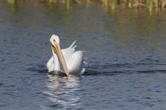 Weißer Pelikan in Florida-Sumpfgebiet lizenzfreies stockbild