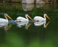 Weißer Pelikan - großartiges Teton NP Lizenzfreies Stockbild