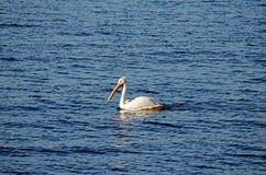 Weißer Pelikan (Pelecanus erythrorhynchos) Lizenzfreie Stockbilder