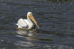 Weißer Pelikan (Pelecanus erythrorhynchos) Lizenzfreies Stockfoto