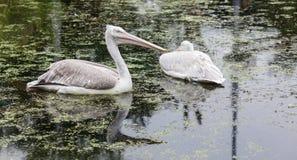 Weißer Pelikan-Schwimmen Stockfotografie