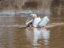 Weißer Pelikan schwimmt auf dem Wasser, das seine Flügel an einem sonnigen Tag verbreitet und nach Lebensmittel sucht Lizenzfreie Stockfotografie