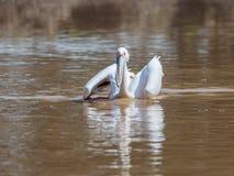 Weißer Pelikan schwimmt auf dem Wasser, das seine Flügel an einem sonnigen Tag verbreitet und nach Lebensmittel sucht Stockfotos