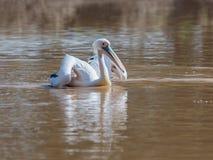 Weißer Pelikan schwimmt auf dem Wasser, das seine Flügel an einem sonnigen Tag verbreitet und nach Lebensmittel sucht Stockbild