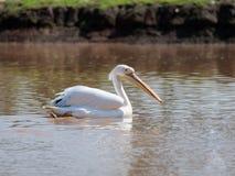 Weißer Pelikan segelt auf das Wasser an einem sonnigen Tag und sucht nach Lebensmittel Lizenzfreie Stockbilder