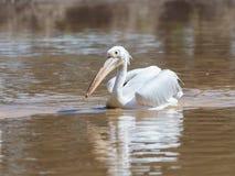 Weißer Pelikan segelt auf das Wasser an einem sonnigen Tag und sucht nach Lebensmittel Lizenzfreie Stockfotografie