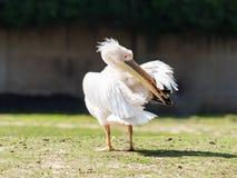 Weißer Pelikan steht aus den Grund an einem sonnigen Tag und säubert Federn Stockfotos