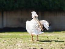 Weißer Pelikan steht aus den Grund an einem sonnigen Tag und säubert Federn Stockfotografie