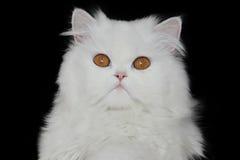 Weißer Perser Stockbild