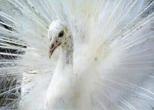Weißer Pfau stockbilder
