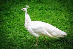Weißer Pfau auf Gras Stockbild