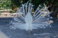 Weißer Pfau im Zoo Lizenzfreie Stockfotografie