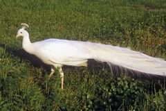 Weißer Pfau, Middleton Plantation, Charleston, Sc Lizenzfreie Stockfotografie