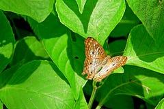 Weißer Pfau-Schmetterling Lizenzfreie Stockfotos
