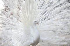 Weißer Pfau zeigt seine Schwanzfeder Stockfoto