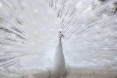 Weißer Pfau zeigt seine Schwanzfeder Stockfotos