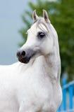 Weißer Pferdekopf im Freien im Sommer. Stockfotografie