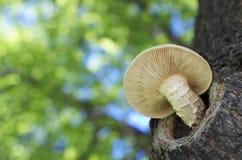 Weißer Pilz stockbild