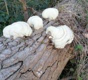Weißer Pilz lizenzfreie stockfotos