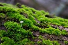 Weißer Pilz auf Baumrinde, unter dem Grün, helles, Pelzmoos stockfotos