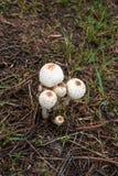 Weißer Pilz auf der Grundnatur Lizenzfreie Stockfotografie