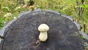 Weißer Pilz, der auf einem alten Baum wächst stockbilder