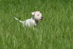 Weißer Pit Bull Puppy lizenzfreies stockfoto