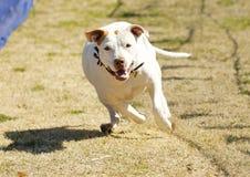 Weißer pitbull Terrier, der einen Köder jagt Lizenzfreie Stockfotos