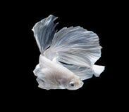 Weißer Platt-Platin-Siamesischer Kampffisch Weißes siamesisches fighti Lizenzfreie Stockbilder