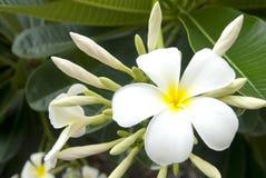 Weißer Plumeria Lizenzfreies Stockbild