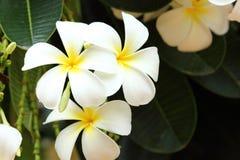 Weißer Plumeria. Stockfotos