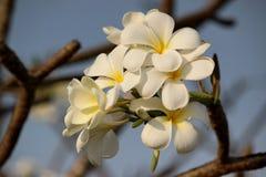 Weißer Plumeria Stockbild