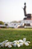Weißer Plumeria Lizenzfreie Stockbilder