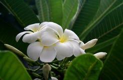 Weißer Plumeria Stockfoto