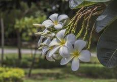 Weißer Plumeria stockfotos
