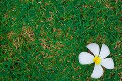 Weißer Plumeria auf grünem Gras lizenzfreies stockbild