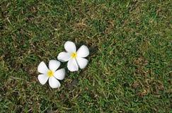 Weißer Plumeria auf grasartigem Feld Stockbild