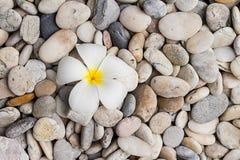 Weißer Plumeria auf Kiesel Lizenzfreie Stockfotografie