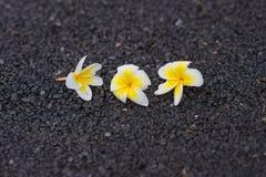 Weißer Plumeria auf Straße für blackground Stockfotos
