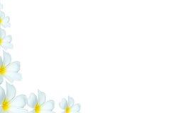 Weißer Plumeria blüht Hintergrund an der Ecke Lizenzfreies Stockbild