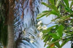 Weißer Plumeria, Frangipaniblumen auf unscharfem Palmehintergrund stockfotografie