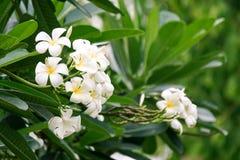 Weißer Plumeria im Garten Stockfotografie
