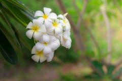 Weißer Plumeria oder Frangipani Süßer Duft vom weißen Plumeria lizenzfreie stockfotografie