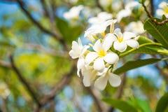 Weißer Plumeria oder Frangipani Süßer Duft von weißem Plumeriaflorida stockfotos