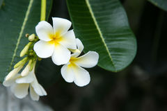 Weißer Plumeria oder Frangipani Süßer Duft von weißem Plumeriaflorida lizenzfreie stockfotografie