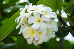 Weißer Plumeria oder Frangipani Süßer Duft von weißem Plumeriaflorida lizenzfreies stockbild