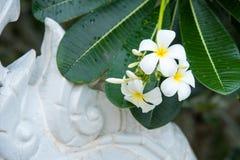 Weißer Plumeria oder Frangipani Süßer Duft von weißem Plumeriaflorida stockbilder